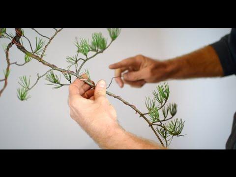 ASMR Bonsai | Virginia Pine