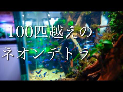 ネオンテトラ100匹以上入れた水草水槽が超綺麗! 100 neon tetra nature aquarium