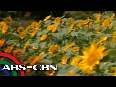 [ABS-CBN]  Mga sunflower, atraksyon sa Albay Farmers Bounty Village maski tag-uran | TV Patrol Bicol