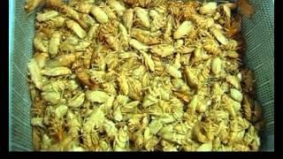อาชีพแปลกเพาะเลี้ยงแมลงสาบ | Kholo.pk