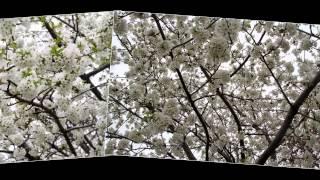 Mùa Hoa Anh Đào by Ngọc Lan