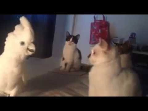 Kaketoe miauwt als een kat