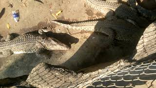 Visit the crocodile farm