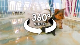 360° Video of TeaCup Puppies 2 - #ALLieCamera