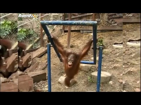 Baby Orangutan Hits Himself in the Face and Cries