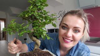 How to trim bonsai tree - bonsai tree care