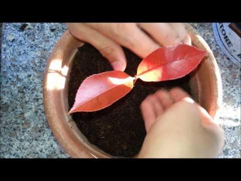 Tecniche di riproduzione vegetale (1°): LA TALEA