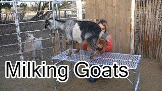Milking Nigerian Dwarf Goats