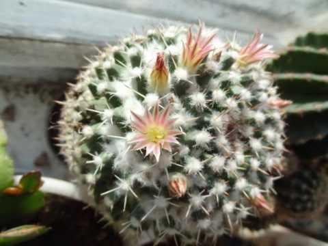 ЦВЕТЫ - Кактус с маленькими цветочками (Домашние цветы)