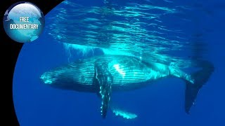 Humpback Whales: The Singers Of The Underwater World