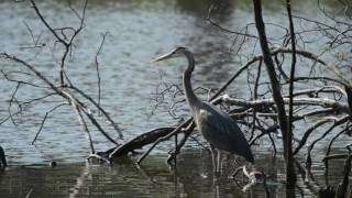 A Great Blue Heron by Morning Light