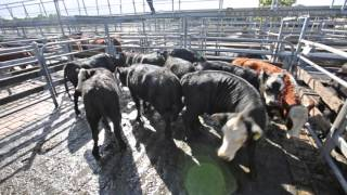 Mount Gambier Cattle Market Report - 6th April 2016