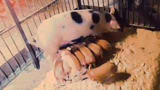 Свиньи🐷 на ПЛЕМЯ//Опорос СВИНЕЙ в первый раз//ГЛАВНОЕ🔥О свиноматках!у нас появился КРОЛИК👯