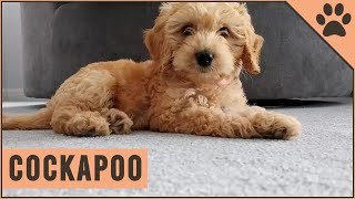 Cockapoo - Why Get A Cockapoo?
