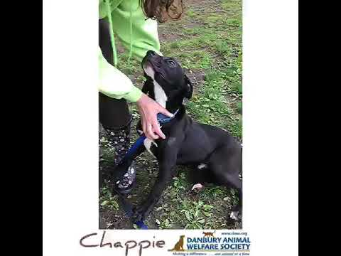 Chappie, an adoptable Terrier Mix in Danbury, CT_image-1