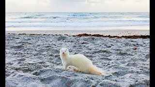 Ferrets Going To The Beach For The First Time!!