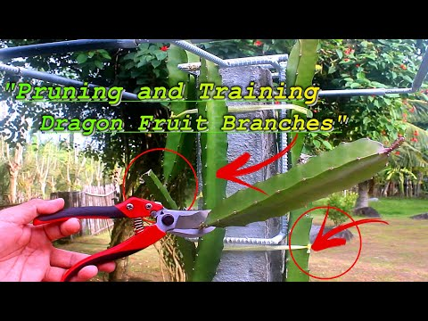 DRAGON FRUIT BRANCHES -PRUNING AND TRAINING ...