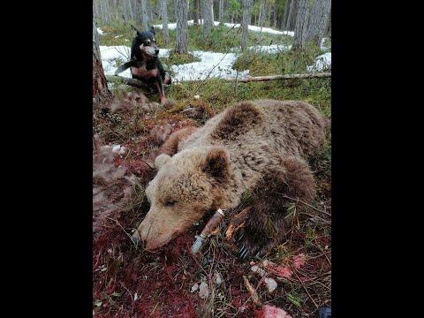 Весенняя охота на медведя видео 2020 года с ВСЛ