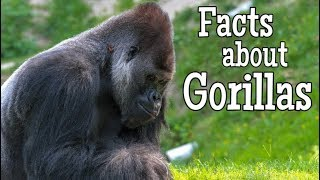 Facts about Gorillas for Kids