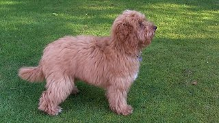 Cockapoo puppy training - 12 - stop, heel, stay