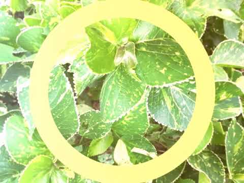 No 60 How To Grow Acalyphacopper Leaf By Cutting Easilyfijian