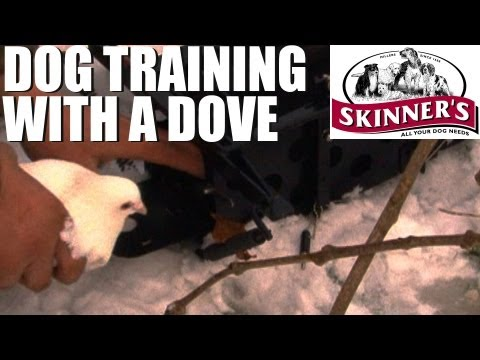 Gundog training tips – How to use a dove launcher