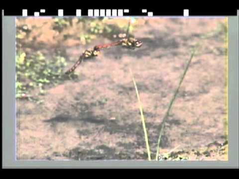 アキアカネの産卵