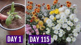 Grow Chrysanthemum In 4 Inch Pot  & Get HEAVY Flowering