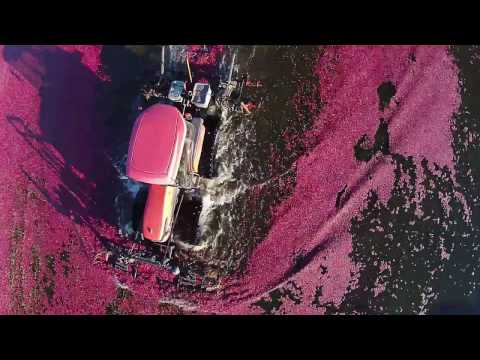 Look how impressive and beautiful the process of cranberry harvest is!