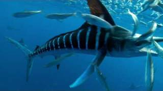 SPEARED by a MARLIN