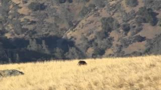 .308 vs Wild Boar!!