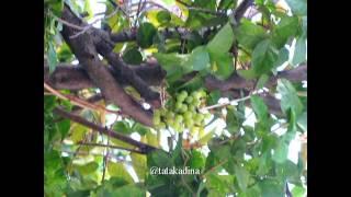 preview picture of video 'Fenomena Melati Berbuah Anggur (Juwana - 10 April 2015)'