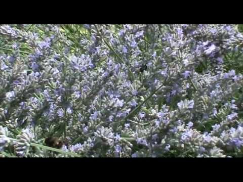 bees on lavendar