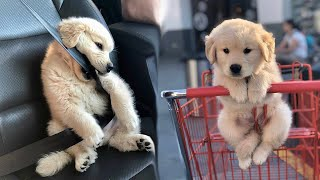 Funny And Cute Golden Retriever Puppies Compilation #1- Cutest Golden Puppy 2020