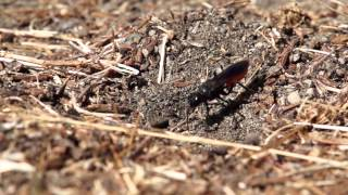 Burrowing Wasp digging a hole (240)fps