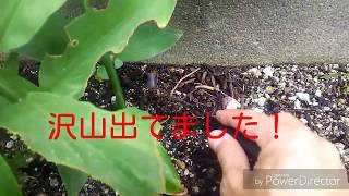 ミョウガの収穫2017