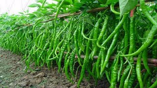 WOW! Amazing Agriculture Technology   Sweet & Chili Peppers