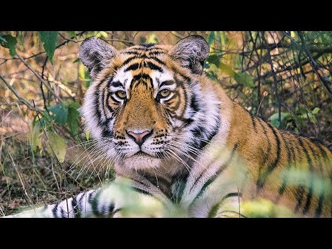 India's Tigers: A Threatened Species