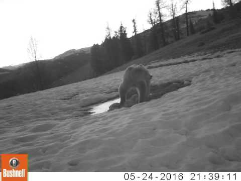 Медведь на солонце (2016)