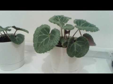 Цикламены из семян в домашних условиях