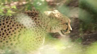 International Cheetah Day. Dec 4th