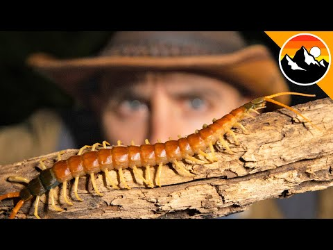 REVENGE of the Centipede – Will it Bite?