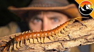 REVENGE of the Centipede - Will it Bite?