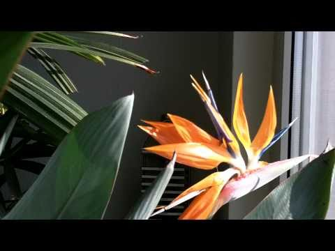 Bird of Paradise Blossom
