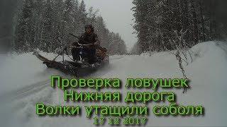 Проверка ловушек Нижняя дорога Волки утащили соболя 17 12 2017