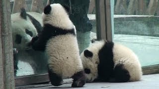 preview picture of video 'Panda Babies meet their older freiend at Chengdu 2014 January  大熊猫 成都 パンダ'