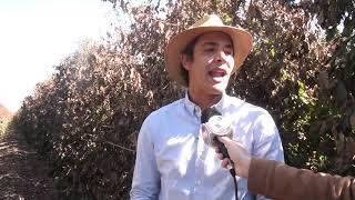 Produtor de maracujá perde quase metade da plantação com geada