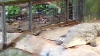 Alligator enclosure