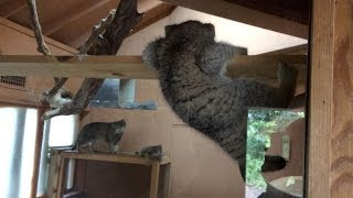 落っこちそうなマヌルネコの子猫 2014 06 28 埼玉県こども動物自然公園