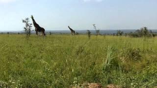 Safari Day 2: Savannah VI -- Giraffe